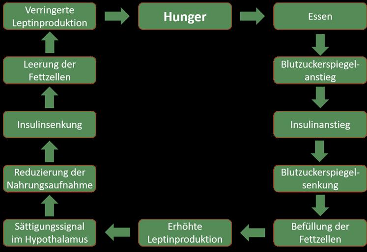 Leptin-Regelkreis
